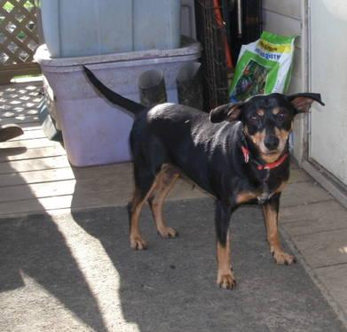 Manchester Terrier - Cricket - Small - Adult - Female -