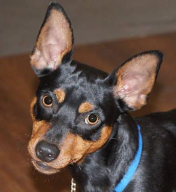 Manchester Terrier - Gordy - Small - Young - Male - Dog