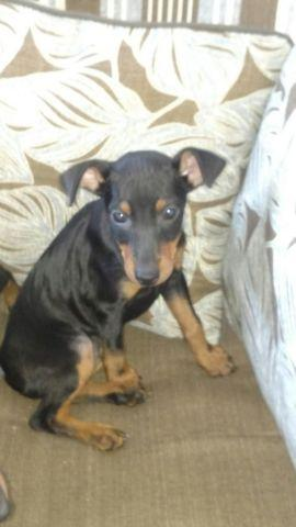 Manchester Terrier Toy Akc Puppies For Sale In Loveland Ohio