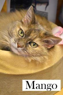 Mango Domestic Mediumhair Senior Female