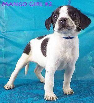 Mango Girl #2 American Bulldog Puppy Female for Sale in Griffin