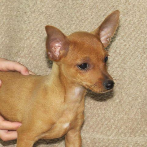 chihuahua jack terrier mix for sale manhuahua manchester terrier chihuahua mix for sale in 1426