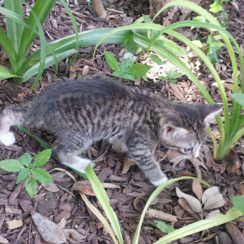 Manx (Bobtail) Kittens