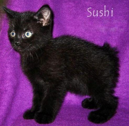 Manx kittens ~ black & blue cream