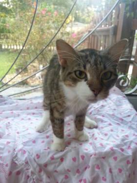 Manx - Sunbeam - Small - Young - Female - Cat