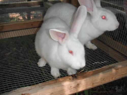 MANY RABBITS FOR SALE AT THE LAZY LOP