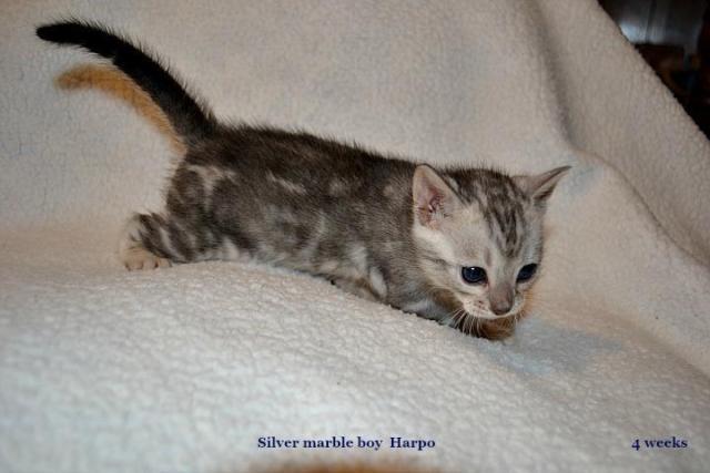 homemade flea bath for cats