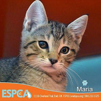 Maria Domestic Shorthair Kitten Female