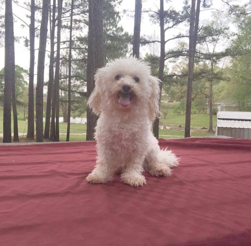 Marley Bichon Frise Adult - Adoption, Rescue
