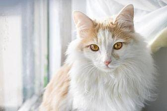 Marshall Turkish Angora Kitten Male