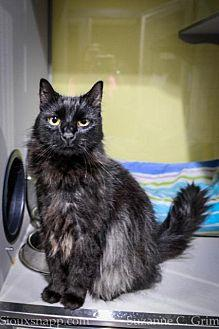 Marshmellow Domestic Longhair Adult Male