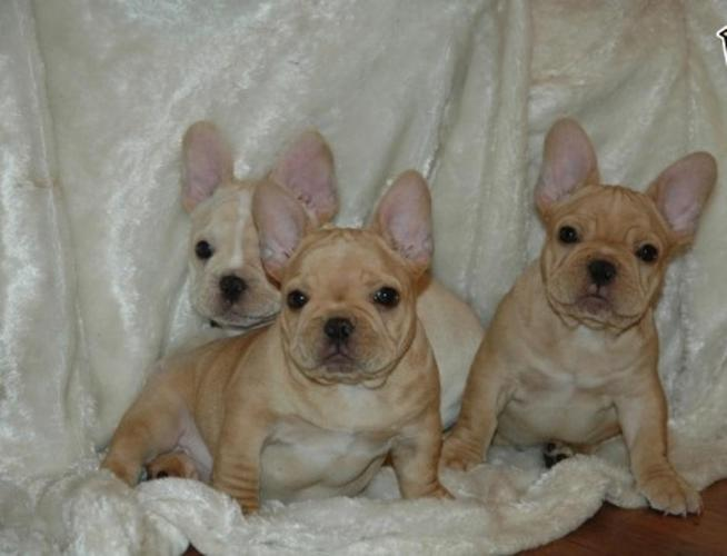 Marvelous 100 Quality Akc Registered Pure French Bulldog Puppies