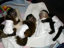 MARVELOUS SWEET MARMOSET AND CAPUCHIN BABY MONKEYS