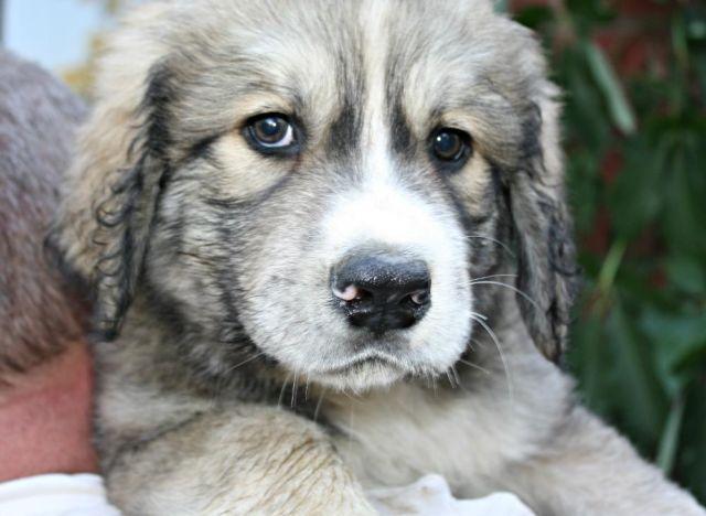 MASPYR (English Mastiff Great Pyrenees) Gentle Giant Puppies