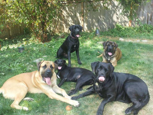 Mastador Puppies Pets And Animals For Sale In The Usa Puppy And