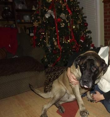 Mastiff - Faye - Extra Large - Senior - Female - Dog