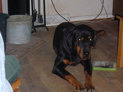 Mastiff Rottweiler Mix For Sale In Clinton North
