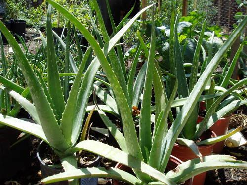 mature medicinal aloe vera plants for sale in fremont california classified. Black Bedroom Furniture Sets. Home Design Ideas