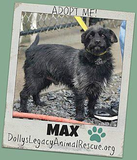 MAX Cairn Terrier Adult Male