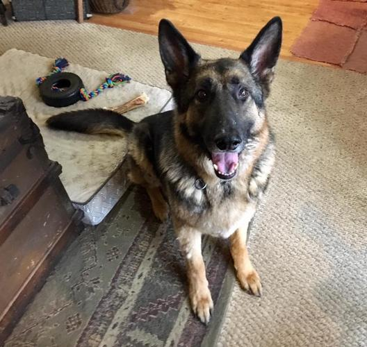 Max German Shepherd Dog Adult Adoption Rescue For Sale In