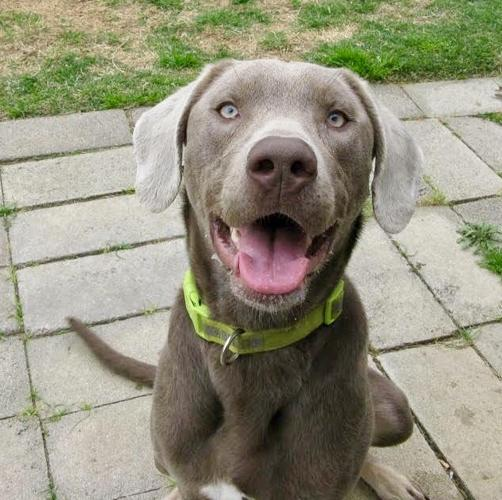 Max Weimaraner Adult - Adoption, Rescue for Sale in