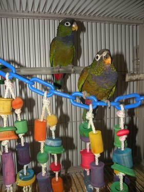Maximilian Pionus baby parrots
