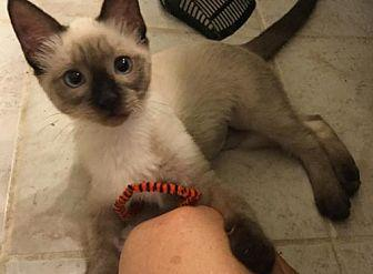Maxine Siamese Young Female