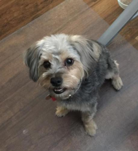 Maya Yorkshire Terrier Yorkie Adult Adoption Rescue For Sale In
