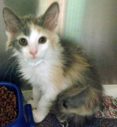 Mazie - Amazing Long Haired Dilute Calico Female Kitten ...   444 x 480 jpeg 43kB