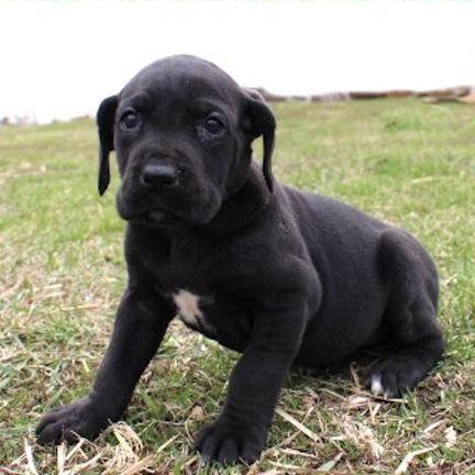 Medea-Big AKC Black Female Great Dane Puppy for Sale in ...