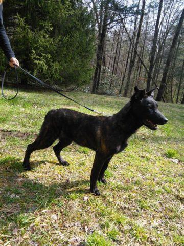 Medieval Working K9=Dutch Shepherds Available for