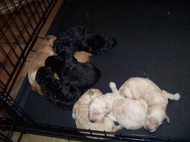 Medium Goldendoodle Puppies 27 40lb When Full Grown For