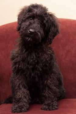 Medium sized bernedoodle puppies for sale in seattle washington