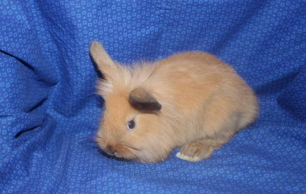 Meet Minnie The Cutest Female Lionhead Bunny