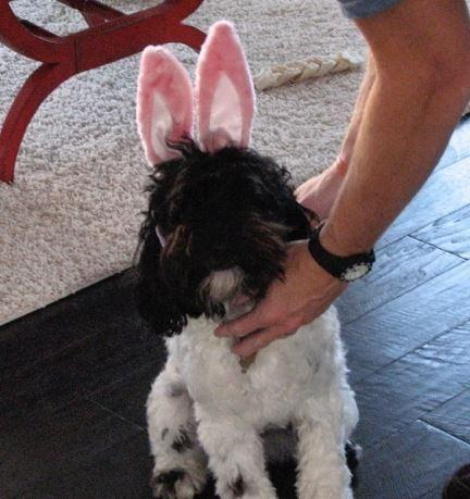 Meet Roody – Indiana Schnoodle Looking For Some Bunny