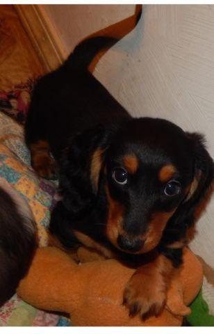 MEET SMOKEY, GOOD LOOKING LONGHAIR BLACK AND TAN
