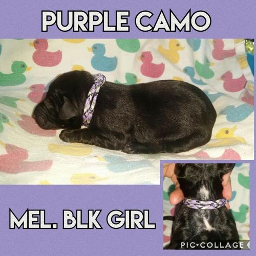 Melanistic Doberman Puppies Solid Health Tested Parents