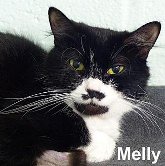 Melly Domestic Shorthair Adult Female