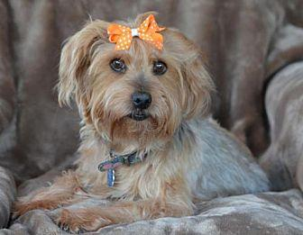 Mendi Yorkie, Yorkshire Terrier Senior Female
