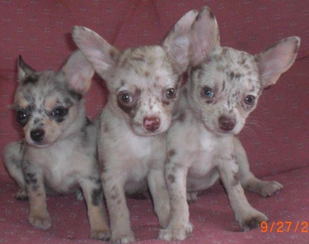 Merle Chihuahua For Sale In Ohio Classifieds Buy And Sell In Ohio
