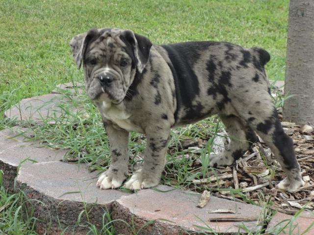 Merle Female Bulldog For Sale In Lexington Park Maryland