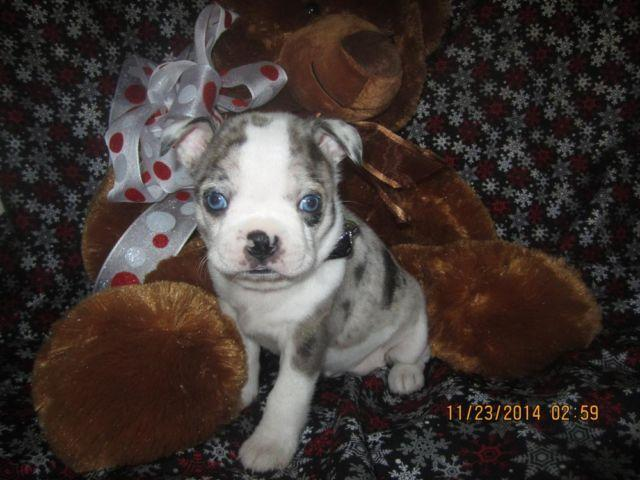 Merle Hybrid Boston Terrier Puppy For Sale In Paterson New Jersey