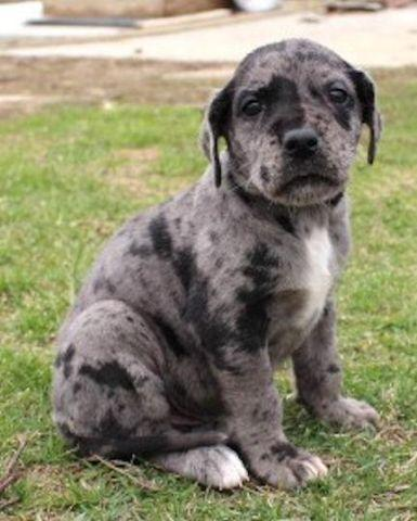 merlin-huge-akc-blue-merle-male-great-da