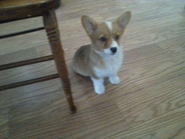 Mini Corgi Puppies For Sale >> Mexican Corgi Puppies