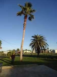 Mexican Fan Palm Tree Jamaica Beach For Sale In
