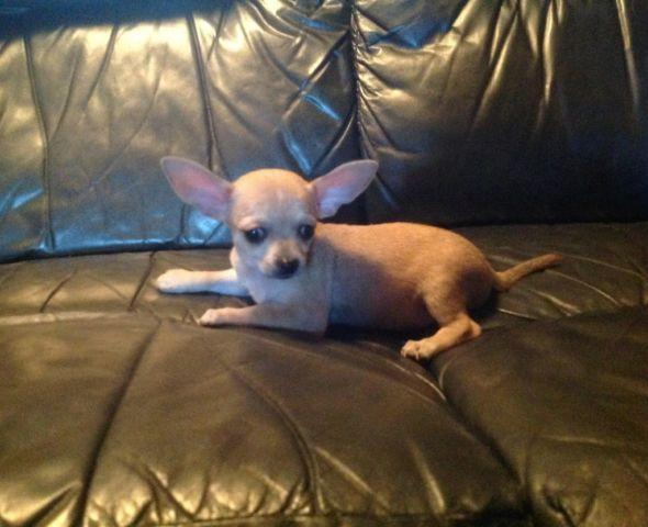 Teacup Chihuahua Puppies For In