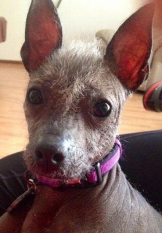 Mexican Hairless (Xolo) Puppy