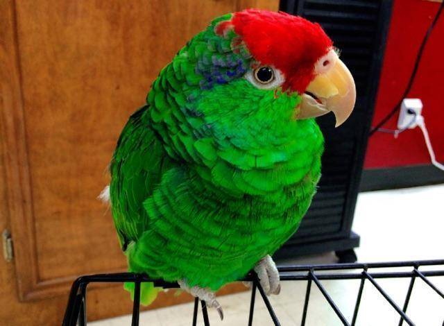 amazon Mexican parrot redhead