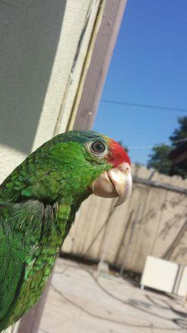 Mexican Red head Parrot