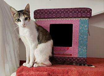 MIA Domestic Shorthair Adult Female